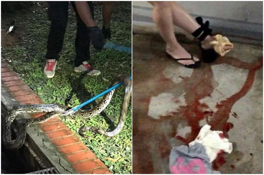 A pest controller driving a python out of hiding from a drain (left) on the ground floor of a Housing Board block in Sembawang Drive, on Oct 9, 2018, after a woman (right) was bitten on the second storey of the block.