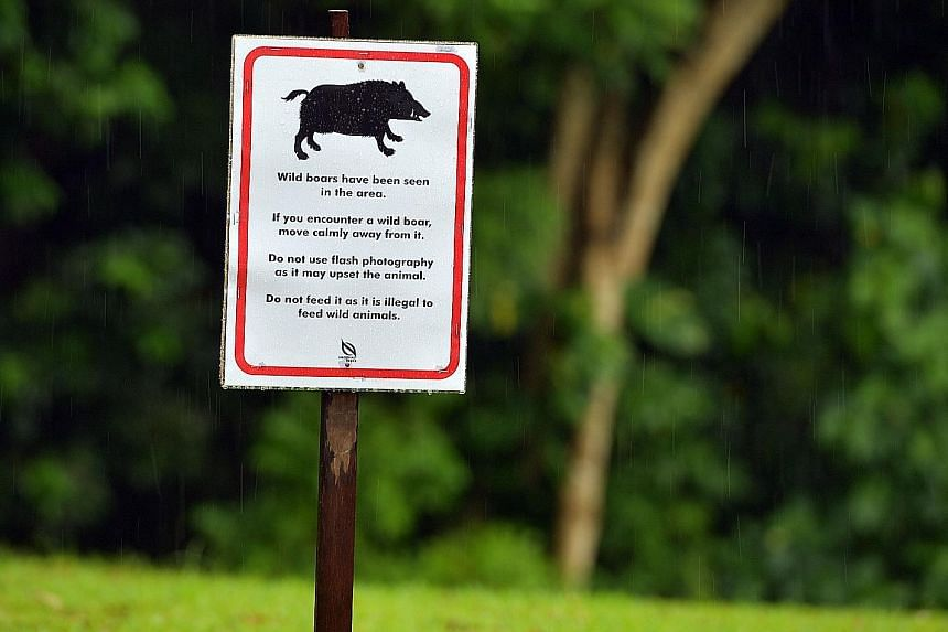 Above: A signboard at Windsor Nature Park advising people on what to do if they encounter a wild boar. Right: A boar foraging for food off Choa Chu Kang Road last year. The study that NParks may conduct would look at how far the pigs move in search o