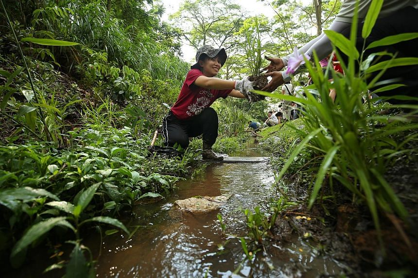 Ms Wu Yuwei, 24, a National University of Singapore environmental studies student, helping to enhance a stream that runs alongside the disused tracks at Rail Corridor (Central) yesterday. She is a volunteer with the Friends of Rail Corridor group. Me