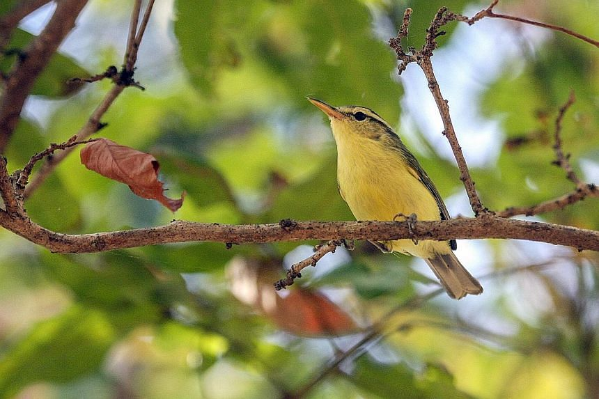 The Timor leaf-warbler sports a smaller beak than the Rote leaf-warbler. Professor Frank Rheindt believes the deep sea trench between the islands of Timor and Rote prevents the small woodland bird from ever crossing it. The Rote leaf-warbler is found
