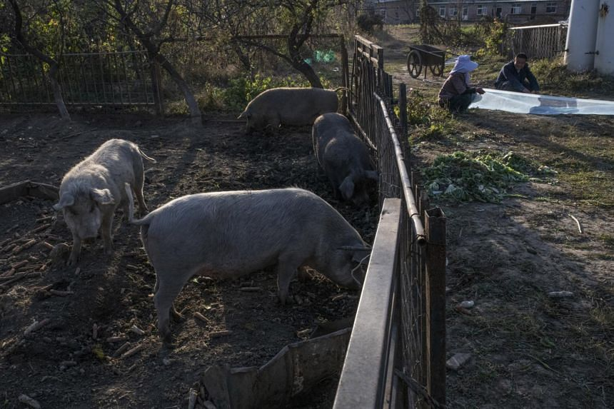 The People's Pigs - Little Black, Little White, Little Gray and Old White - at the Green Cow Farm outside Beijing, on Oct 23, 2018.