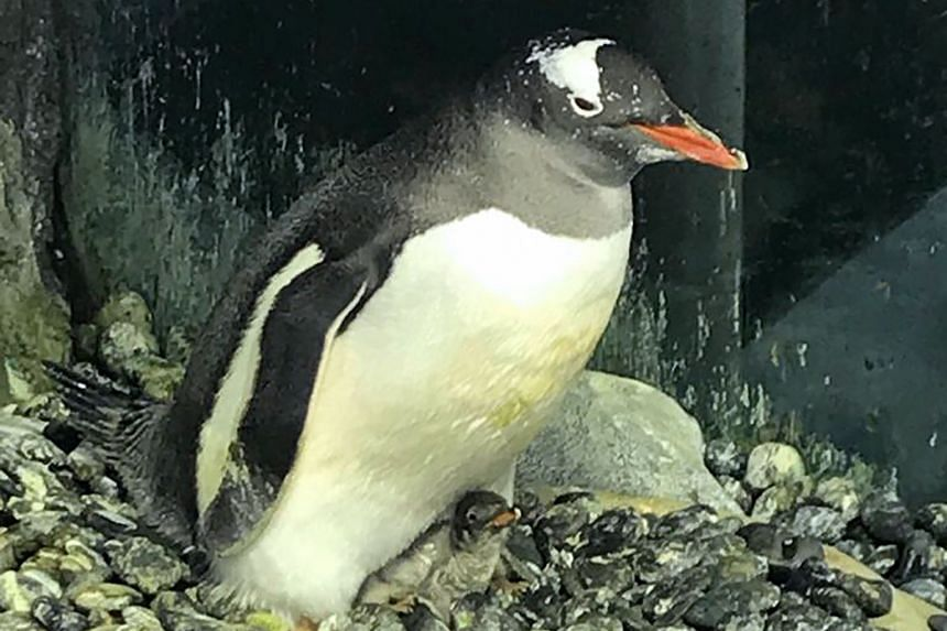 Sphen and Magic (far left), two male gentoo penguins at Sea Life Sydney Aquarium, have successfully incubated a baby chick (left). The pair are able to find each other using their calls, and take turns caring for their chick.