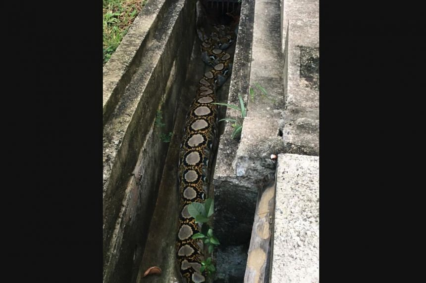 A reticulated python with a swollen belly was spotted in a drain in Bishan on Oct 24, 2018. The snake was likely to have eaten a cat, said Acres.