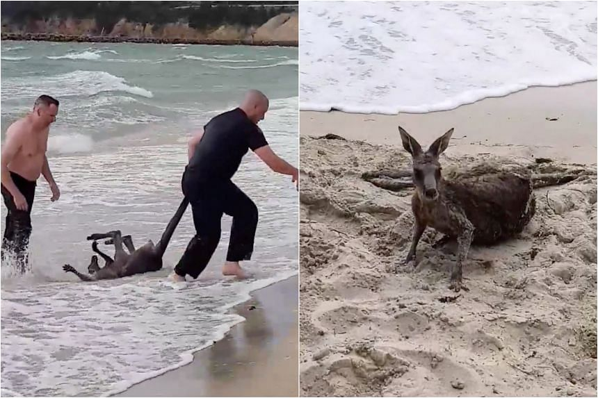 Police officers rescue a kangaroo from sea at Safety Beach, Victoria, Australia, on Oct 27, 2018.