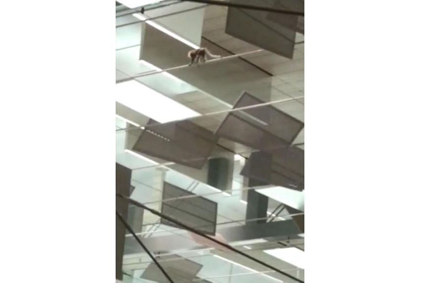 The monkey was spotted roaming high above the check-in area at Terminal 3's departure hall and making its way towards a leaf-covered wall on Monday morning.