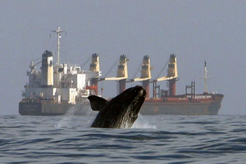 Coping with debris, along with ship collisions and other forms of human encroachment, has severely stymied recovery of the North Atlantic right whales long after explosive harpoons and factory ships nearly wiped them out.