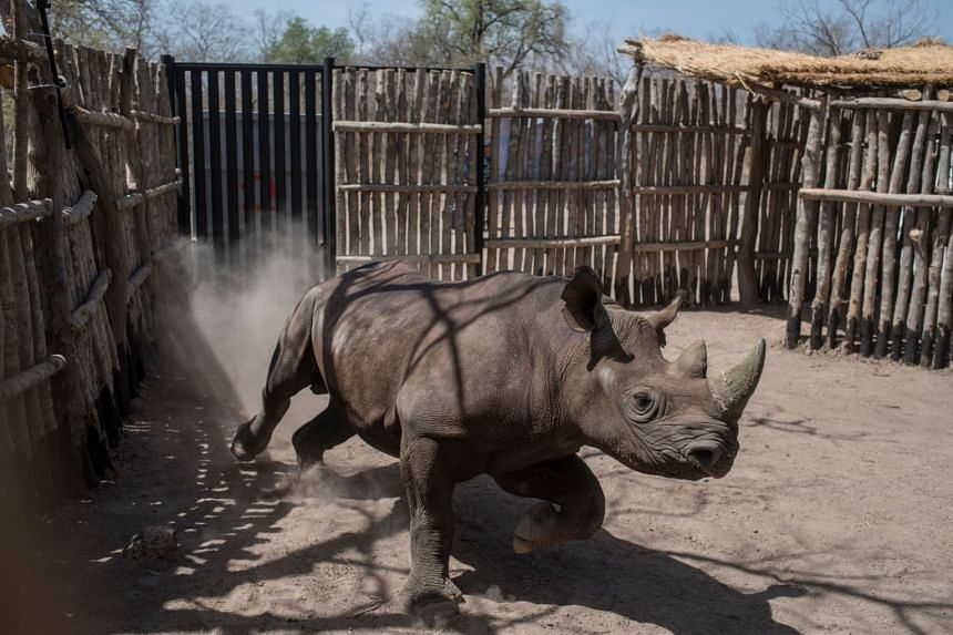 A black rhino in a holding pen in Zakouma National Park in Chad in May 2018.