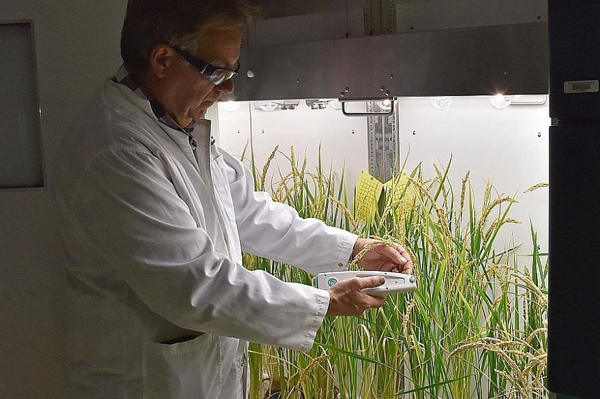 Right: Professor Robert Furbank inspects prototype rice plants at the Australian Research Council Centre of Excellence for Translational Photosynthesis. Far right: Rice fields in Vietnam's northern agricultural province of Yen Bai. Wild swings in the