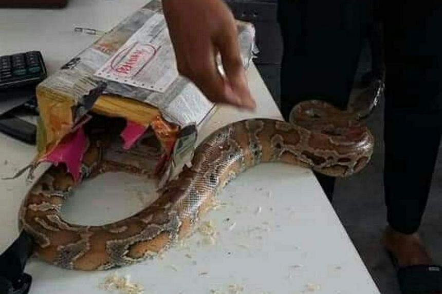 The snake is said to be a non-lethal Burmese python, which is the second-largest type of snake in Asia.