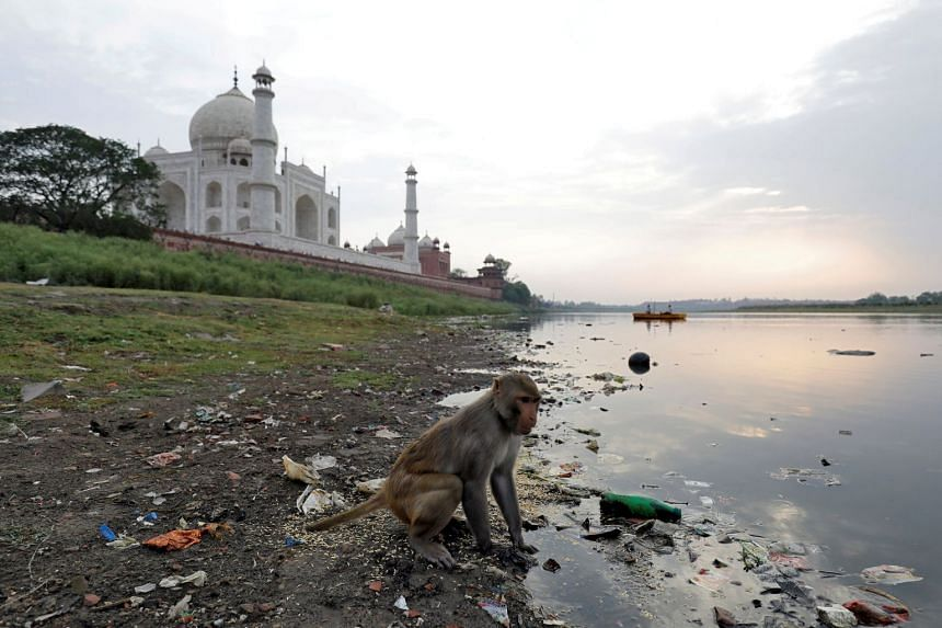 A monkey looks for food on the polluted banks of the Yamuna river, next to the historic Taj Mahal in Agra.
