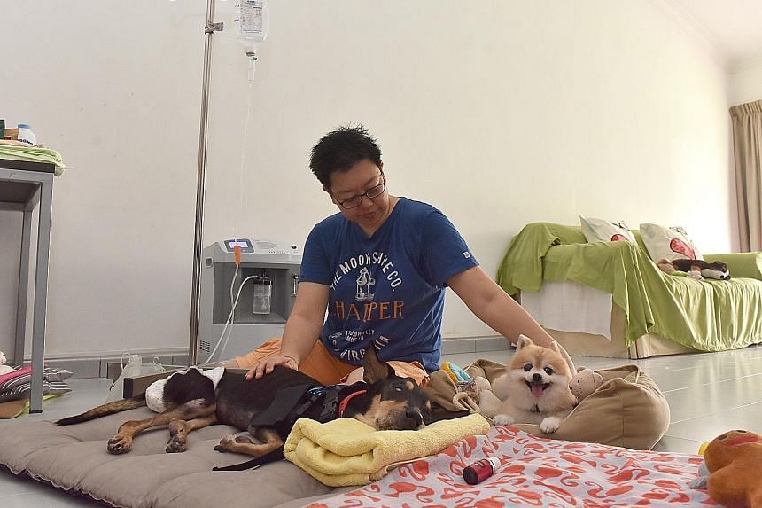 Heartcave Senior Paws Retreat & Rehab co-owner Fiona Foo with 14-year-old Oreo (lying down) and 13-year-old mini pomeranian Ketchup in the daycare centre. Oreo is on a subcutaneous drip and has severe dementia, which causes her to get more confused a
