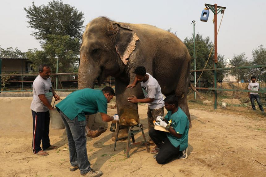 Vets treating the wound of Asha, a female elephant, at the Wildlife SOS Elephant Conservation and Care Centre, in Mathura, India, on Nov 17, 2018.
