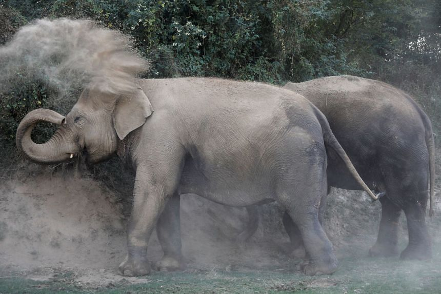 An elephant sprays dust on its body in the northern town of Mathura, India, on Nov 16, 2018.