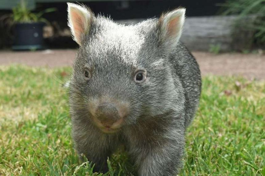 Gauging wombats by sight alone, the marsupials are what scientists would officially refer to as cuddly. But in the wild, they are actually pretty aggressive and territorial - essentially cantankerous cousins of koalas.