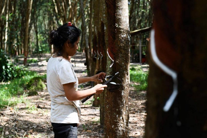 A woman taps a tree to harvest latex at a rubber plantation in Rayong Province, on Oct 17, 2018.