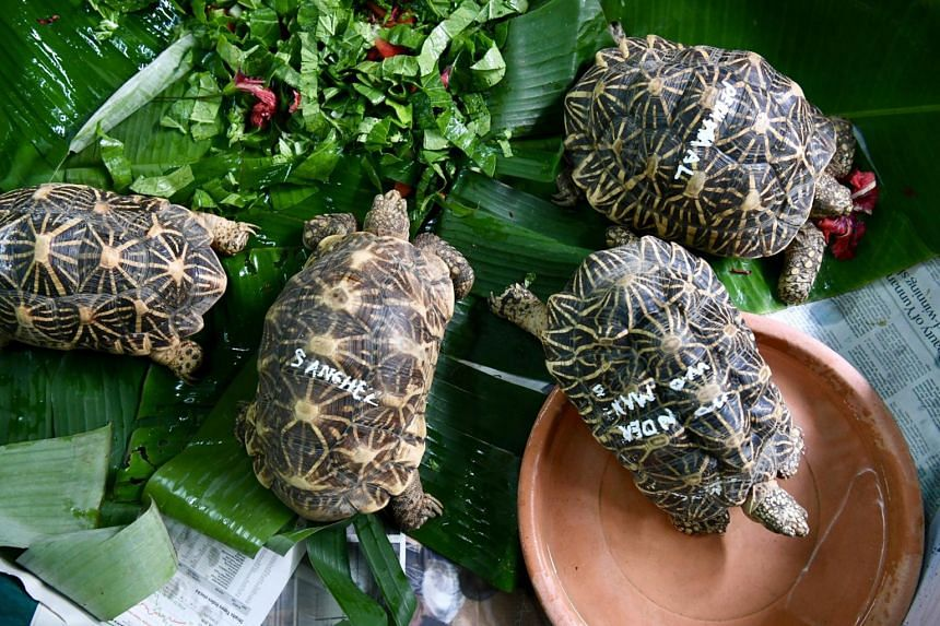 Acres has cared for the Indian star tortoises for more than eight years at its premises in Jalan Lekar in western Singapore.