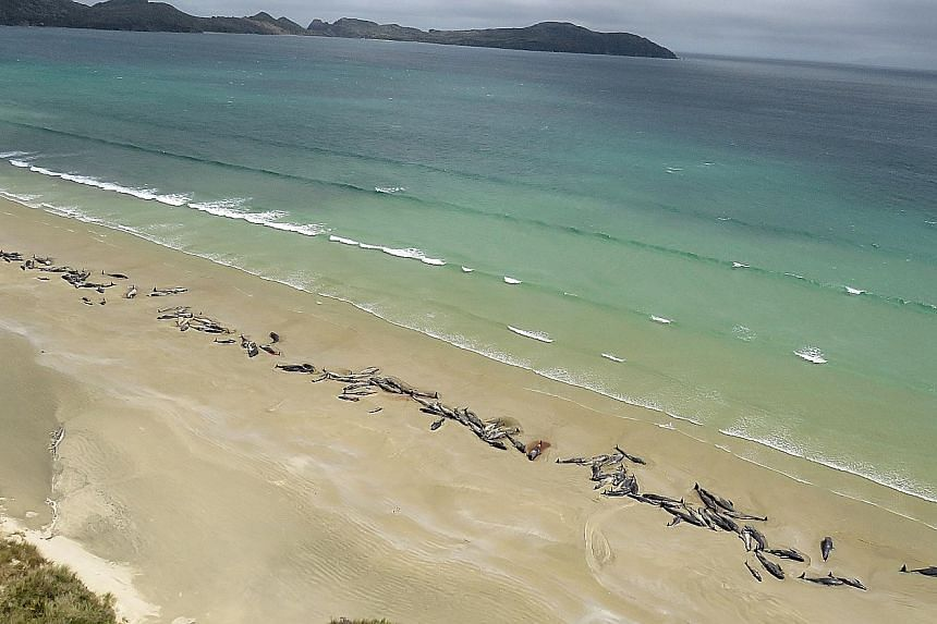Up to 145 pilot whales have died in a mass stranding in a remote part of New Zealand. The stranding was discovered by a hiker last Saturday on Stewart Island, 30km off the southern coast of South Island. Half were already dead and the authorities yes