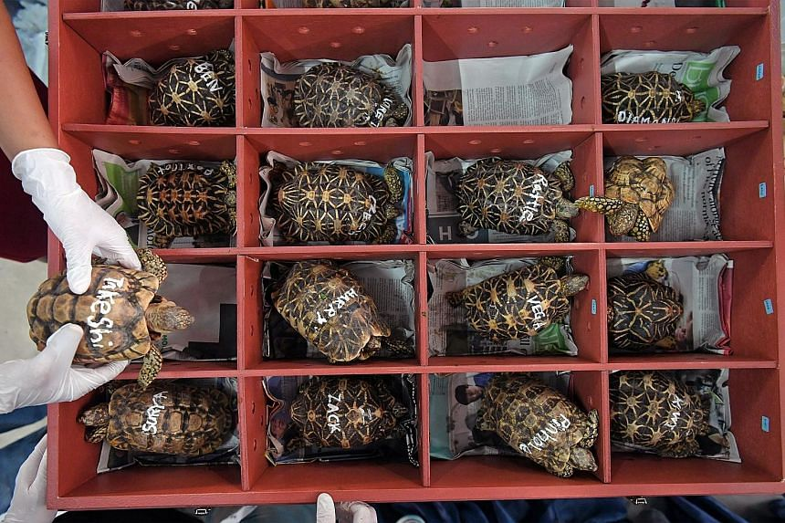 This Indian star tortoise, munching on some leafy greens and flowers, is one of 51 illegally trafficked tortoises that were repatriated by Animal Concerns Research and Education Society (Acres) to Bangaloreyesterday. They were carefully put into crat