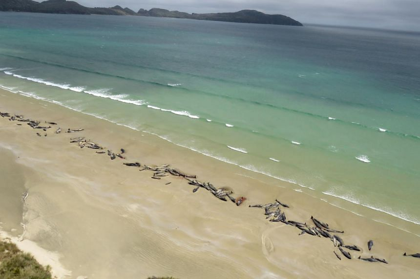 It is the fifth stranding in New Zealand in less than a week, including 145 pilot whales (above) which all died after they beached last weekend at Stewart Island, off the southern coast of the South Island.