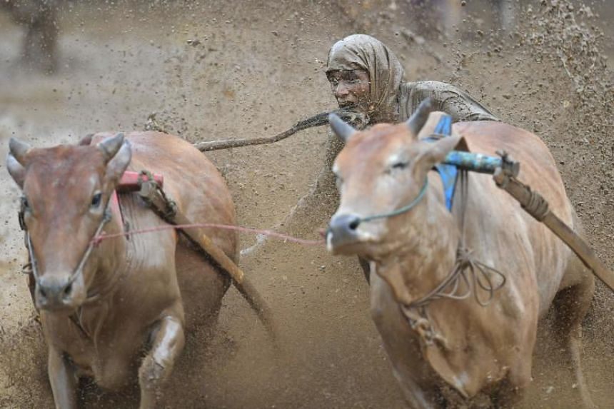 An Indonesian jockey biting the tail of a bull to motivate it during a traditional bull race locally called Pacu Jawi in Pariangan, Sumatra, on Dec 1, 2018.