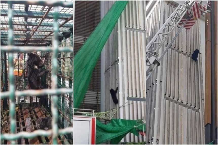 The bear was first spotted climbing up the six-storey building on Friday night. Veterinarian Pattapol Manee-on said it might have been enticed by the smell of food coming from the building.