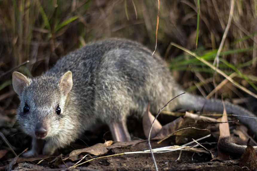 The nocturnal, rabbit-sized bettongs are at risk from feral cats, land-clearing and wildfires, which have become more frequent and fierce in Queensland due to climate change.