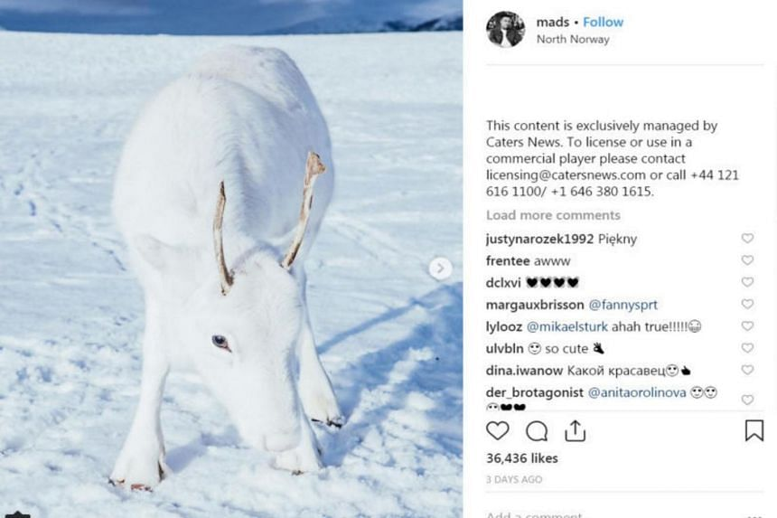 Photos of a rare white reindeer calf were uploaded on Instagram by a Norwegian photographer on Dec 3, 2018.