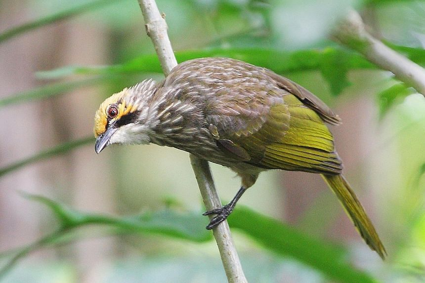 """The straw-headed bulbul, sought after by bird-lovers for its rich song, is now classified as """"critically endangered""""."""