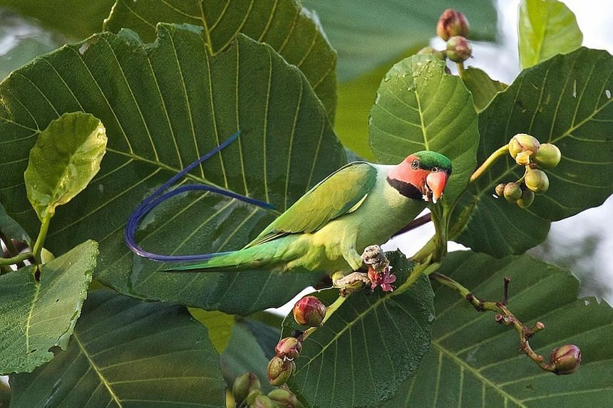 """The long-tailed parakeet has lost much of its home in the rainforests of South-east Asia and is now listed as """"vulnerable""""."""
