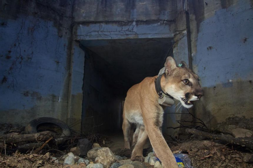 P-64 was the only big cat biologists had observed consistently crossing the 101 Freeway to escape and re-enter the Santa Monica Mountains.