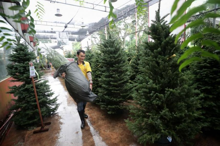 Nurseries here are reporting an increase in sales for the trees this year, which they attribute to more young families getting in on the tradition of buying a real tree.