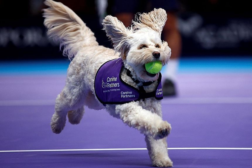 A dog from the charity Canine Partners picking up a ball during the Champions Tennis doubles match between Mansour Bahrami/Juan Carlos Ferrero and Henri Leconte/ Mikael Pernfors at the Royal Albert Hall in London on Thursday.