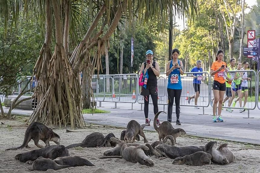 A group of 16 otters slept in Gardens by the Bay on Saturday night and woke up as the Standard Chartered Singapore Marathon got under way on Sunday. Volunteers from the Otter Working Group were present along the marathon route to alert runners to the