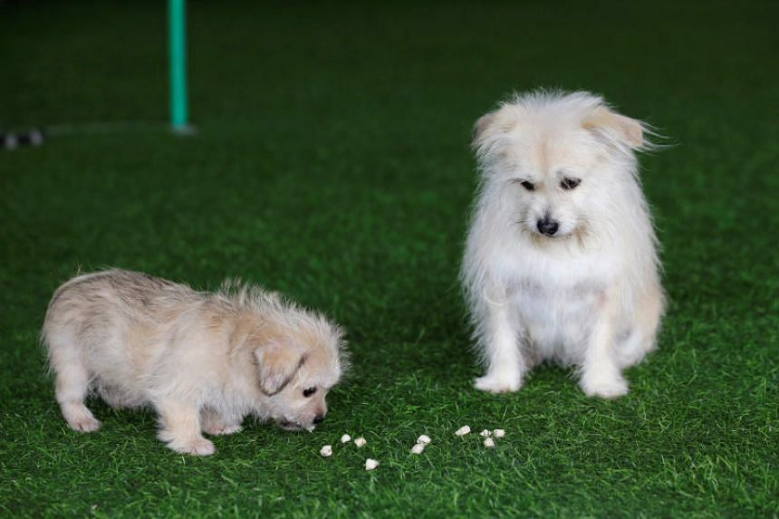 Juice, a nine-year-old mongrel stray adopted off the streets, and his two-month-old clone at a pet resort in Beijing.