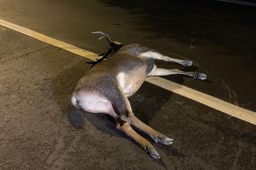 The deer was killed after an accident with a motorcycle on Dec 18, 2018.