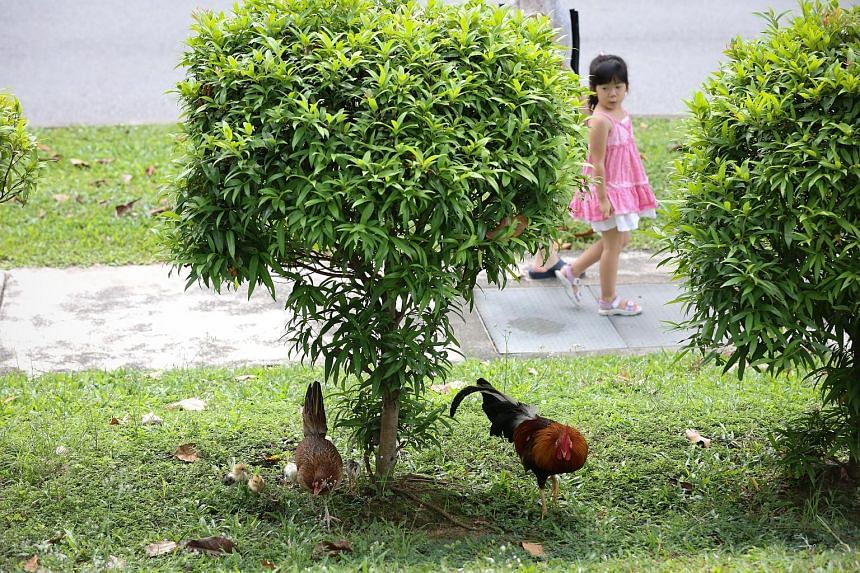 Chickens around Block 266 Tampines Street 21. The Tampines Town Council said it is working with animal welfare group Acres to rehome some chickens after several residents complained about the noise they make.