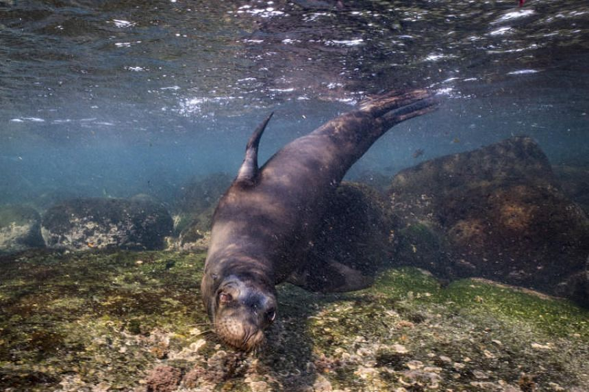 File photo of a fur seal off Fernandina Island in the Galápagos Islands, on Nov 13, 2018.
