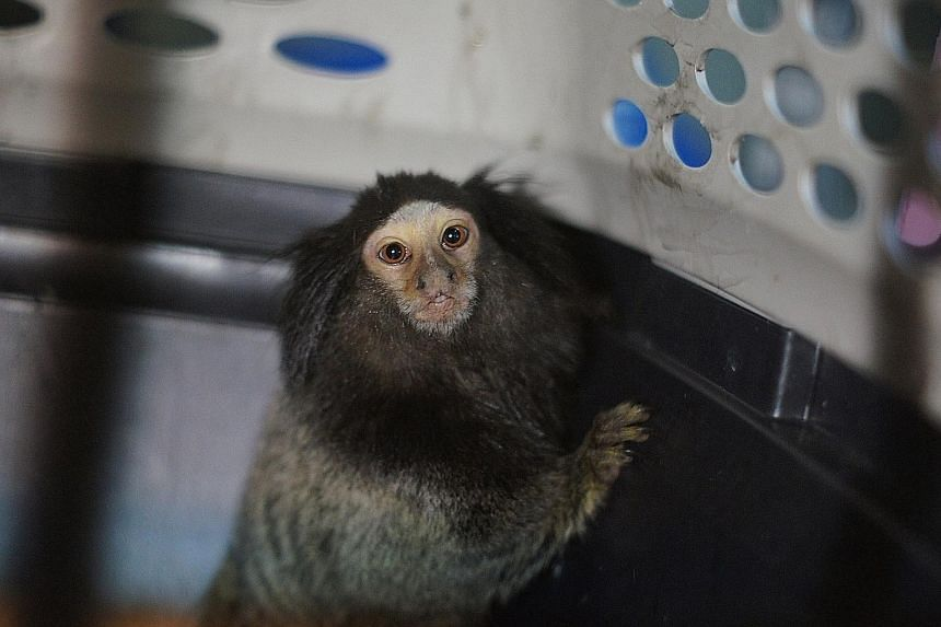 A black-tufted marmoset, one of four found abandoned in Serangoon Road earlier this year. The animals, native to Brazil only, were likely smuggled into Singapore to meet the demands of the illegal exotic pet trade.