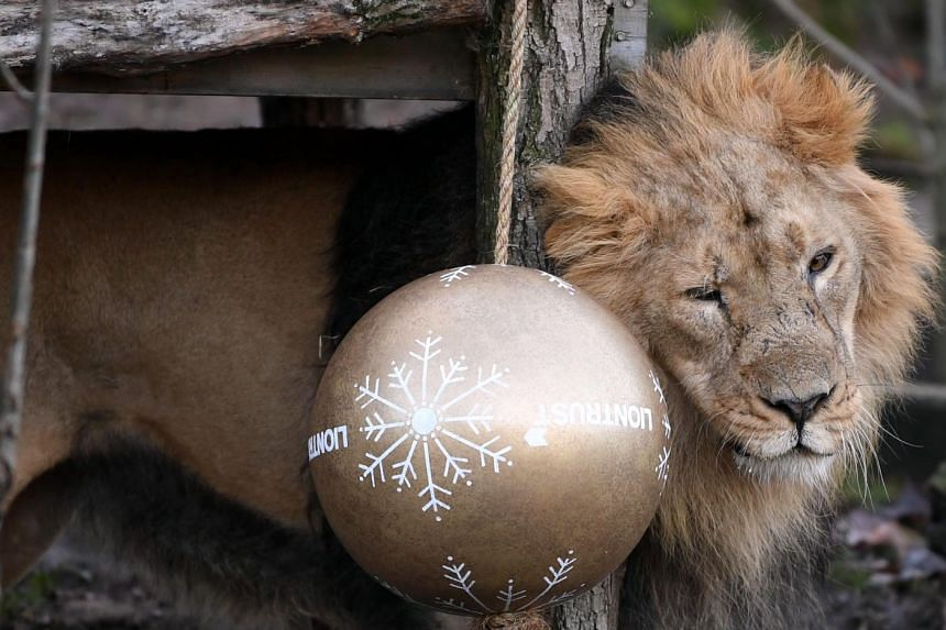 An Asiatic Lion interacts with decorations.