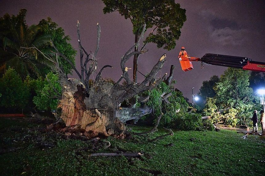 Workers clearing away the 21m-tall tree at Sembawang Park after the incident yesterday, which left 14 people injured. Ms Carine Yeo, 44, and her SMRT colleagues were eating at a park shelter when the tree fell on it.