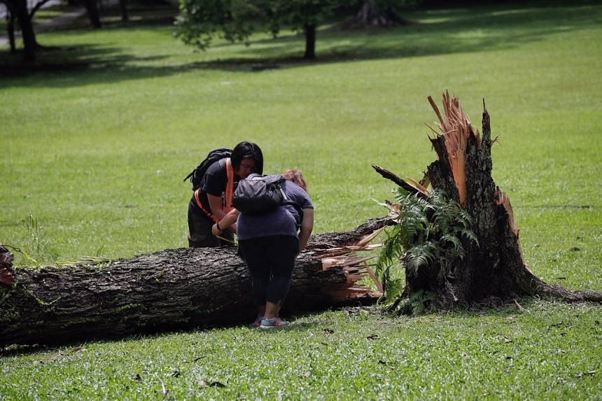 The uprooted trees appeared to have fallen due to heavy winds, based on the direction of falls and their large sizes, said the National Parks Board.