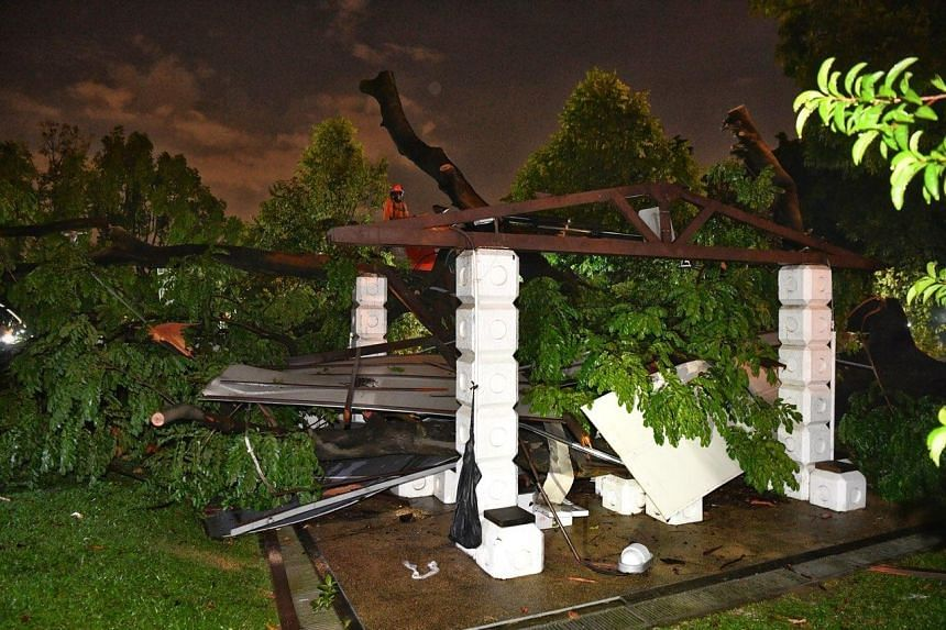 In a statement, the National Parks Board said two trees were uprooted at around 5.30pm at Sembawang Park. The trees were a Tabebuia rosea measuring about 18m in height and 3.6m in girth, and an Erythrophleum suaveolens, which was around 21m tall and