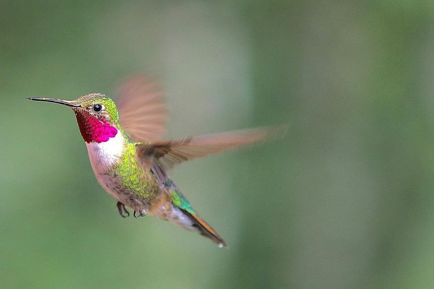 A male broad-tailed hummingbird (left) flashes its iridescent throat feathers while another flies upward to make a U-shaped dive to attract female attention.