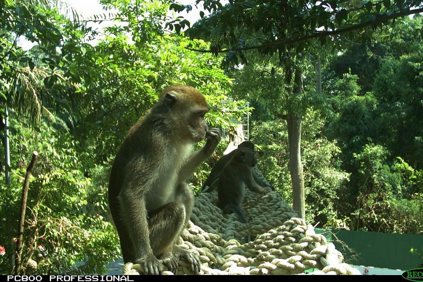 High poles, designed to mimic tree trunks, allow colugos to move as they would in a forested area, while rope bridges enable small animals such as monkeys to cross the road safely. Mandai Park Development hopes the measures will reap results over tim