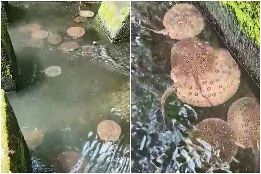 Motoro stingrays that were seen at Lower Peirce Reservoir. PUB has closed fishing areas there and at Upper Seletar Reservoir until further notice.