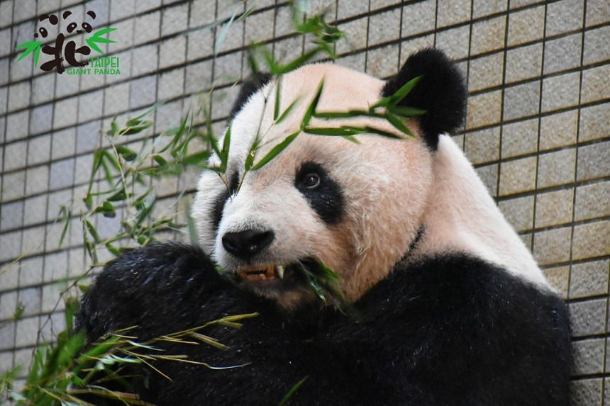 Tuan Tuan, who resides in Taipei Zoo, is the first giant panda to get an orthodontic brace. PHOTO: FACEBOOK/TAIPEI ZOO