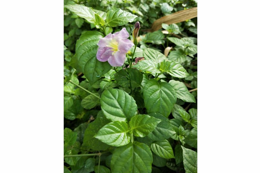 Chinese violet (Asystasia gangetica)