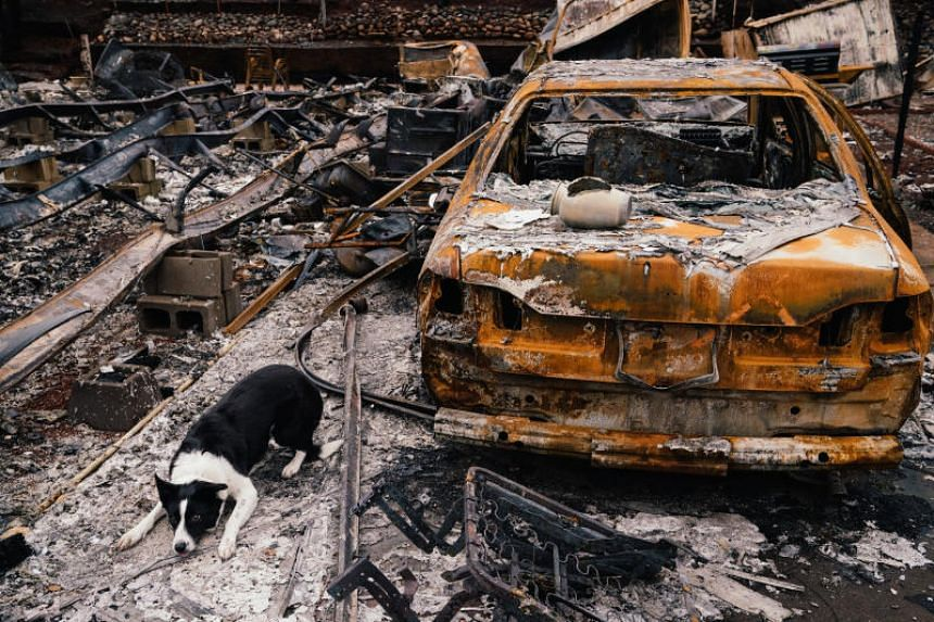 Piper, a border collie, is trained to lie down after discovering human cremains - in this case, they were in an urn on the trunk of a burned-out vehicle in Paradise, California. PHOTO: MASON TRINCA FOR THE WASHINGTON POST