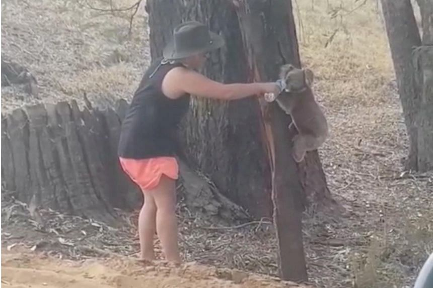 Local Chantelle Lowrie posted on Facebook footage of herself giving water to the koala, who drank from the bottle before climbing back up the tree.
