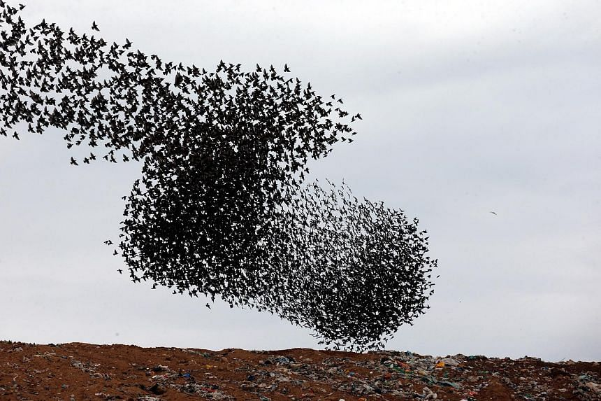 A murmuration of migrating starlings flying above a waste facility near the city of Rahat in southern Israel on Sunday. Starlings from Russia and east Europe often winter in the Holy Land. Swooping, pivoting and soaring, they can put on a display tha